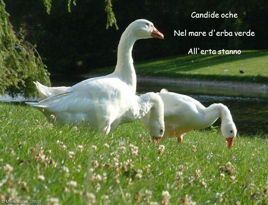 Candide oche Nel mare d erba verde All erta stanno