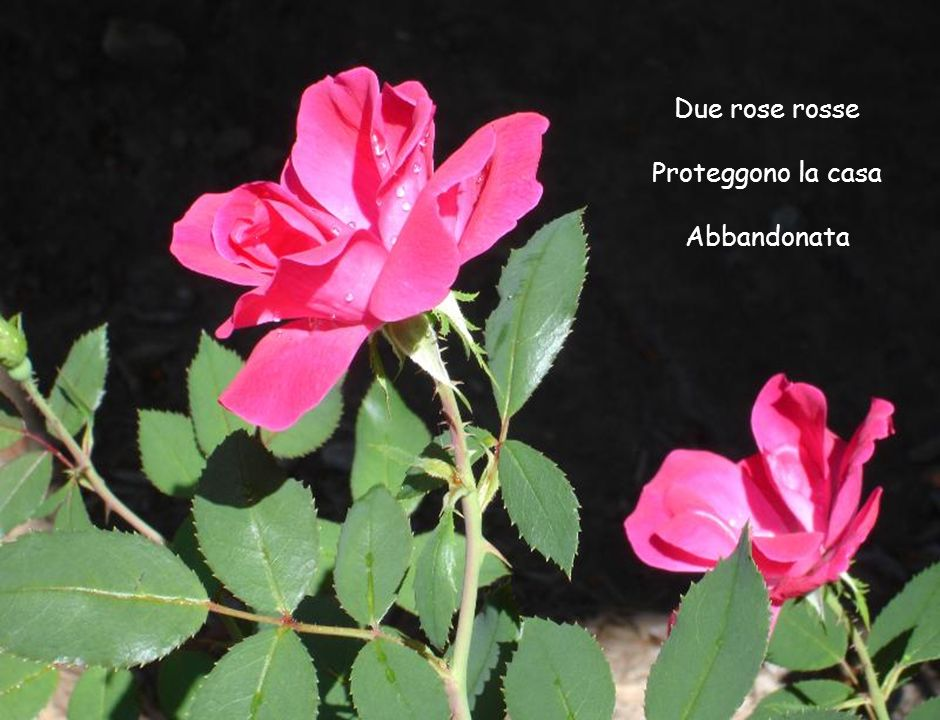 Due rose rosse Proteggono la casa Abbandonata