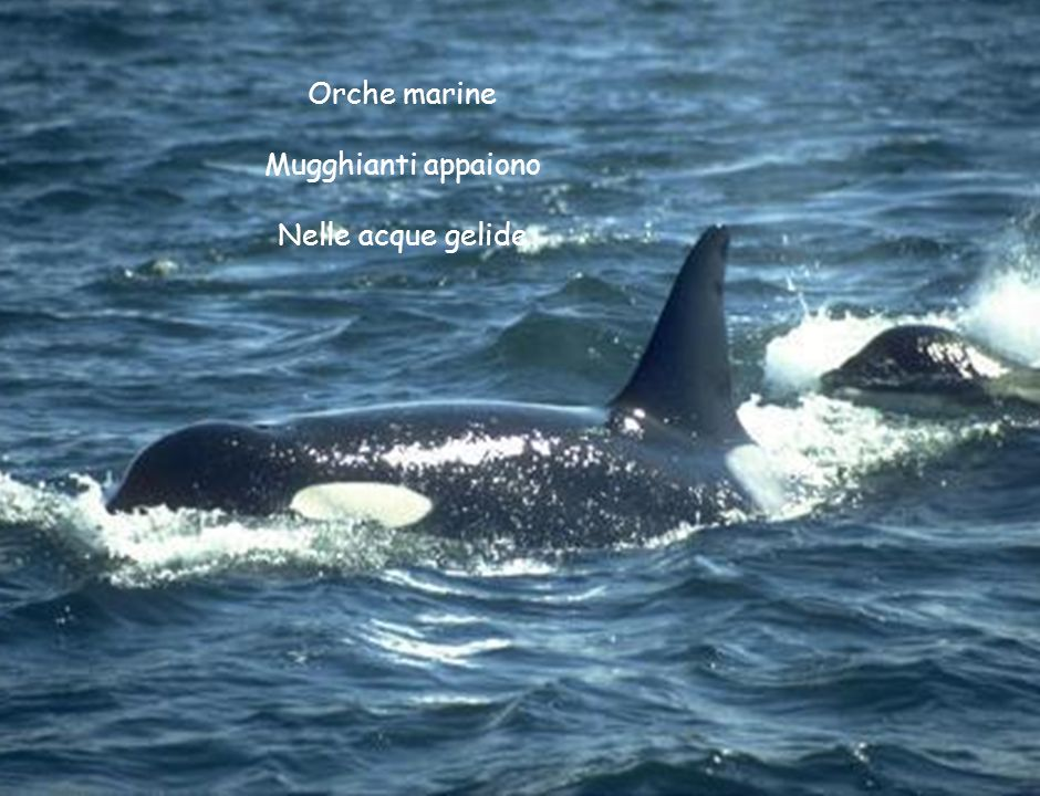 Orche marine Mugghianti appaiono Nelle acque gelide