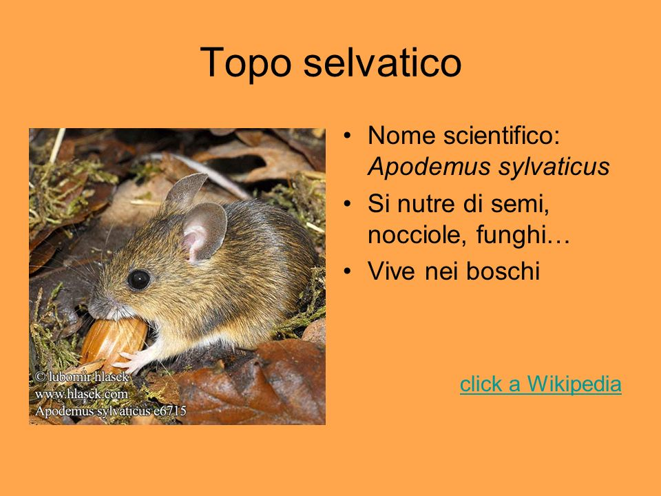Topo selvatico Nome scientifico: Apodemus sylvaticus
