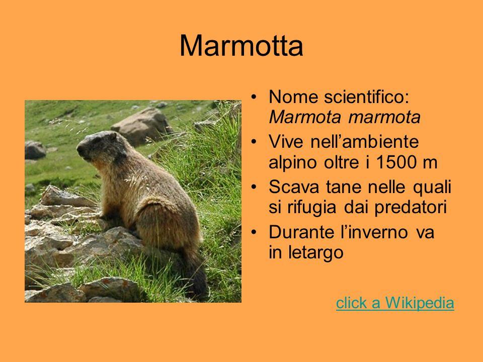 Marmotta Nome scientifico: Marmota marmota