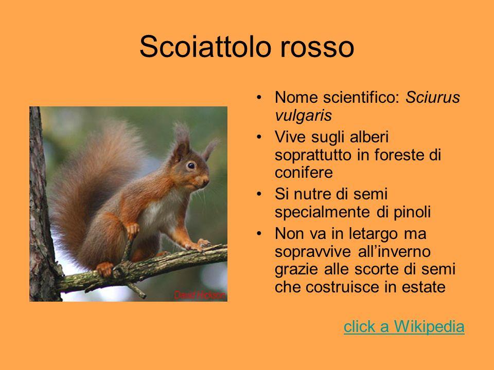 Scoiattolo rosso Nome scientifico: Sciurus vulgaris