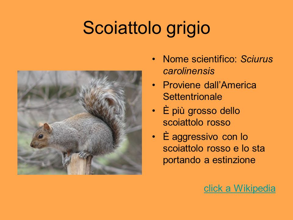 Scoiattolo grigio Nome scientifico: Sciurus carolinensis
