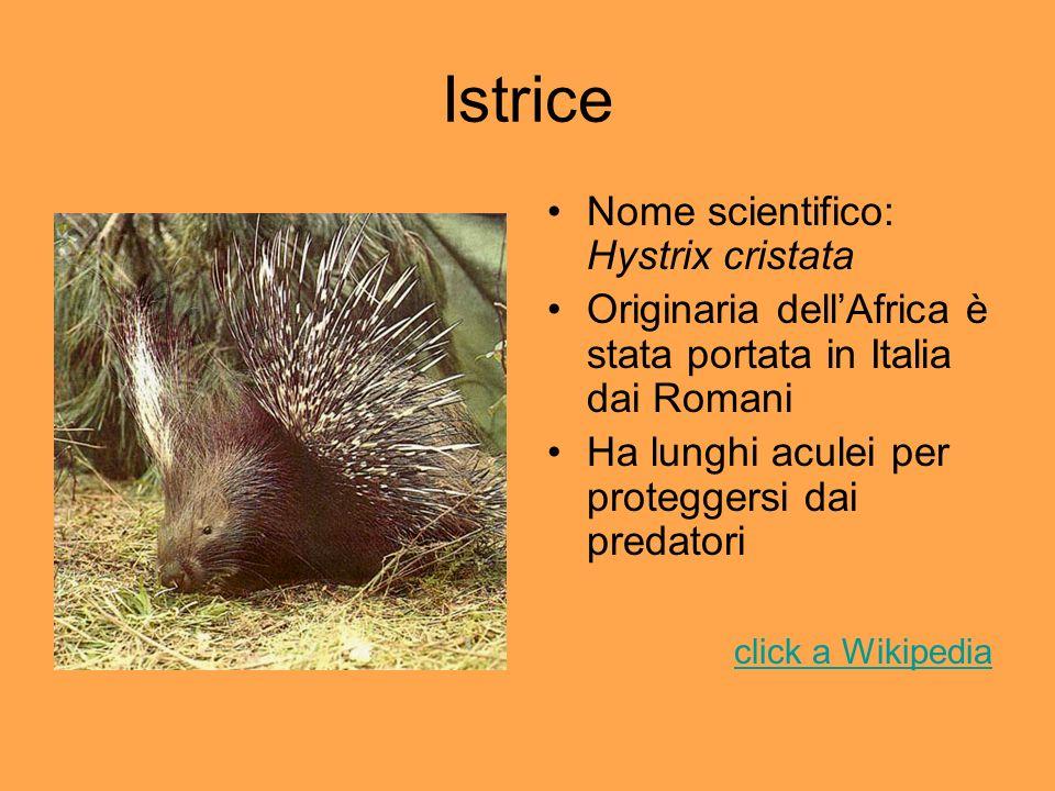 Istrice Nome scientifico: Hystrix cristata