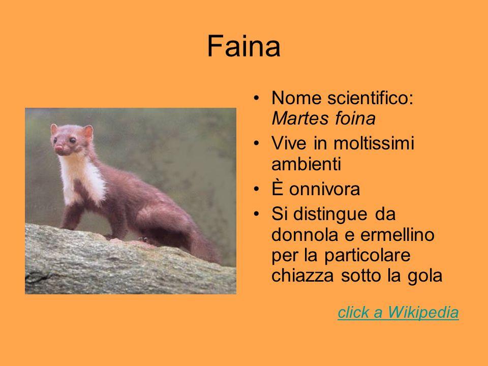 Faina Nome scientifico: Martes foina Vive in moltissimi ambienti