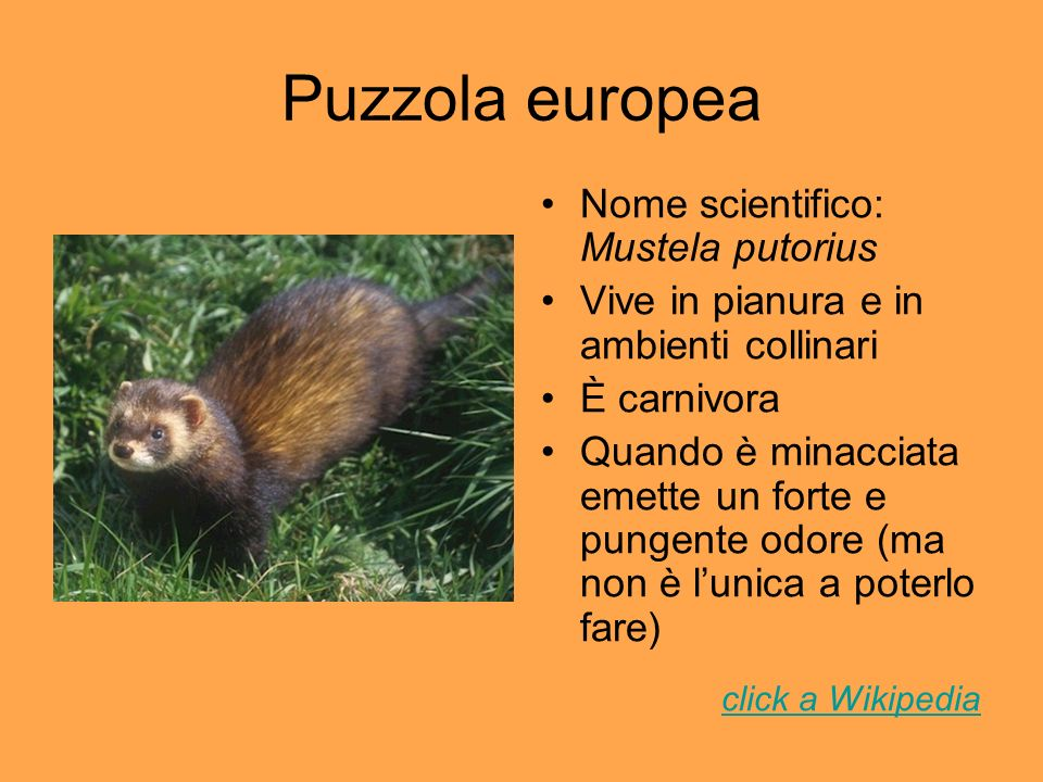 Puzzola europea Nome scientifico: Mustela putorius