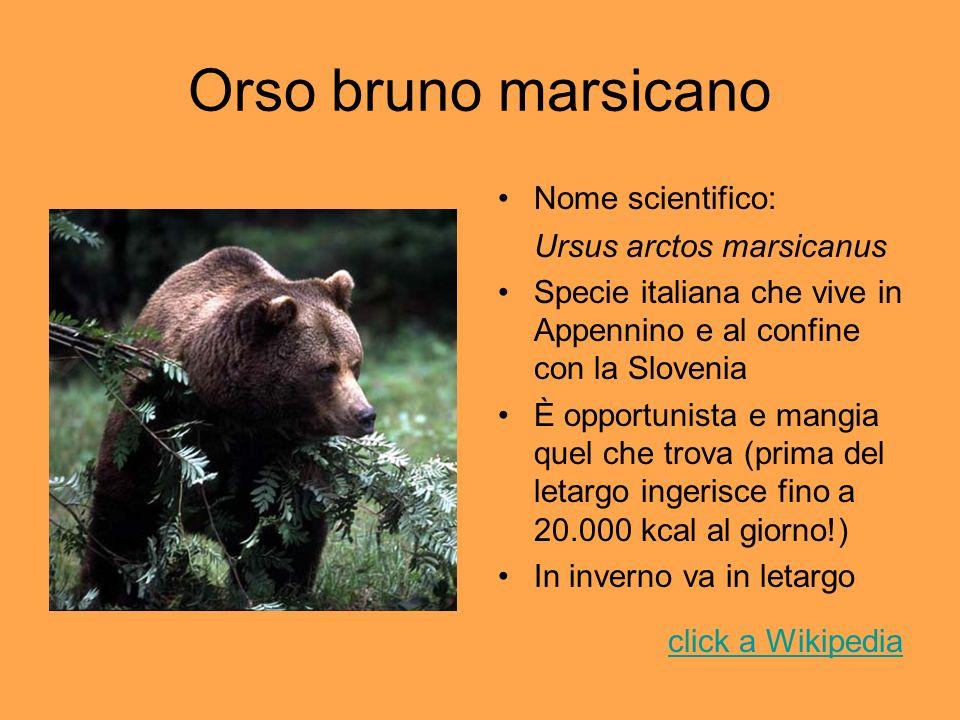 Orso bruno marsicano Nome scientifico: Ursus arctos marsicanus