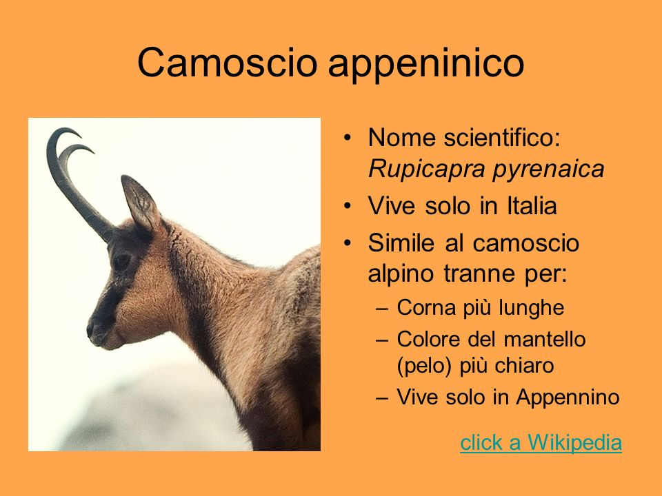 Camoscio appeninico Nome scientifico: Rupicapra pyrenaica