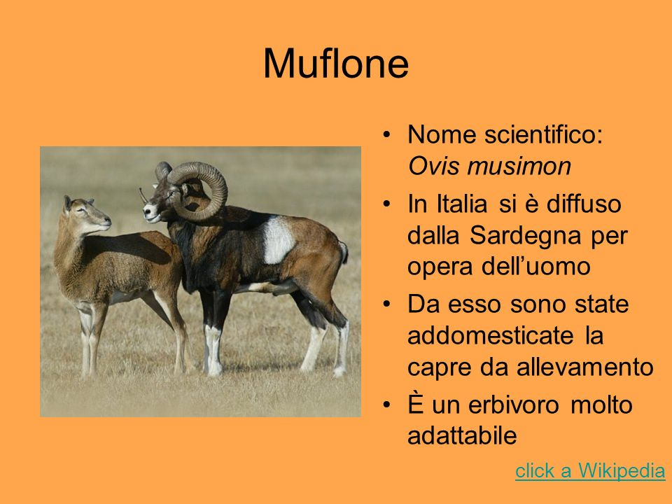 Muflone Nome scientifico: Ovis musimon