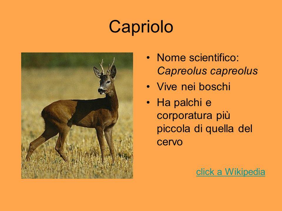 Capriolo Nome scientifico: Capreolus capreolus Vive nei boschi