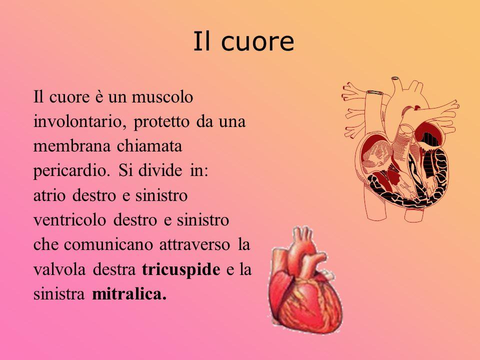 Il cuore Il cuore è un muscolo involontario, protetto da una