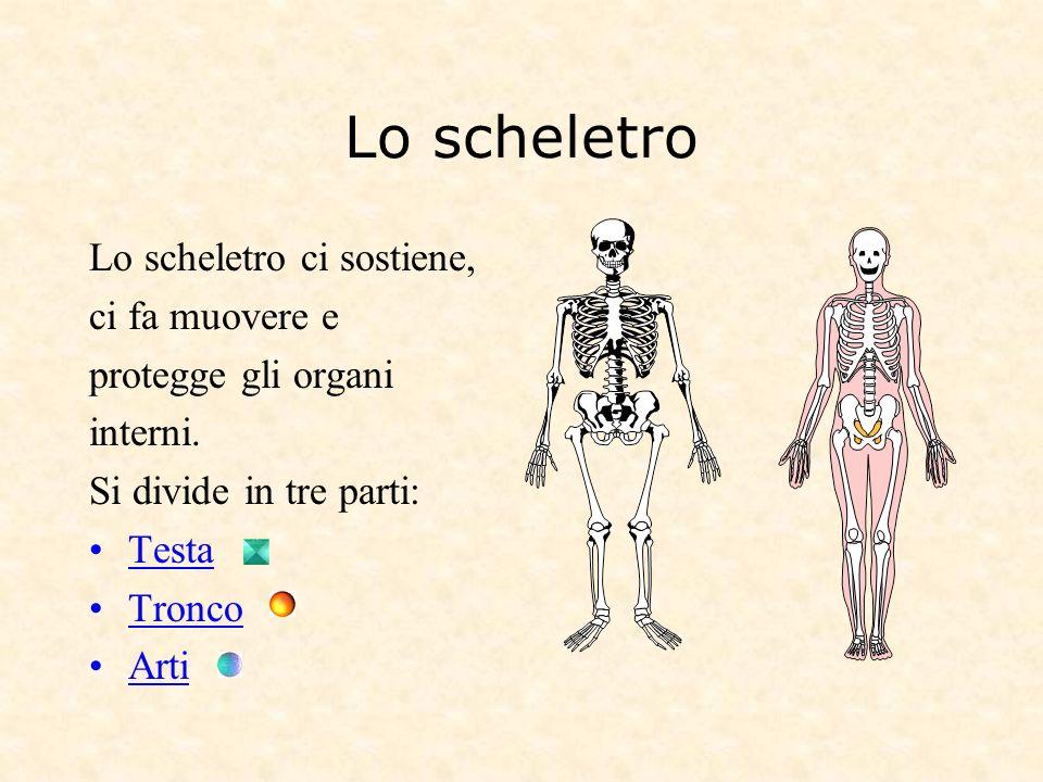 Lo scheletro Lo scheletro ci sostiene, ci fa muovere e