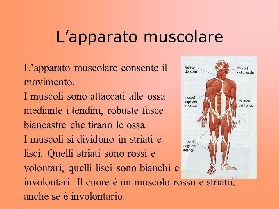 L'apparato muscolare L'apparato muscolare consente il movimento.