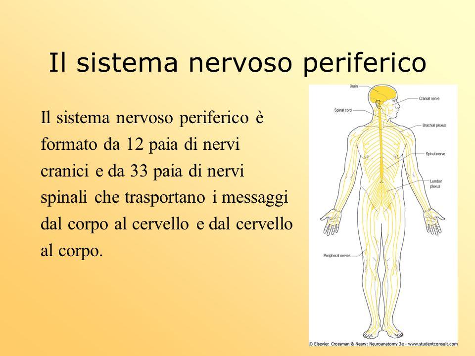 Il sistema nervoso periferico