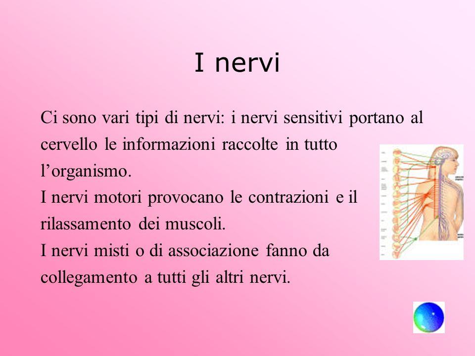 I nervi Ci sono vari tipi di nervi: i nervi sensitivi portano al