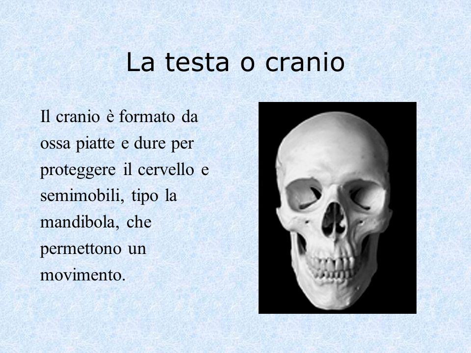 La testa o cranio Il cranio è formato da ossa piatte e dure per