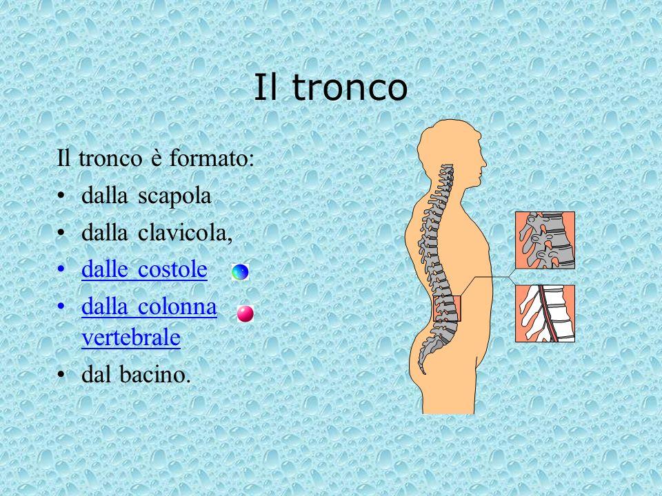 Il tronco Il tronco è formato: dalla scapola dalla clavicola,