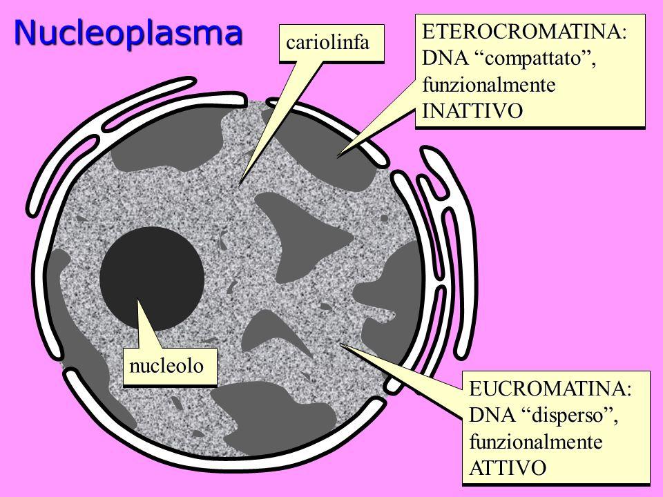 Nucleoplasma ETEROCROMATINA: cariolinfa