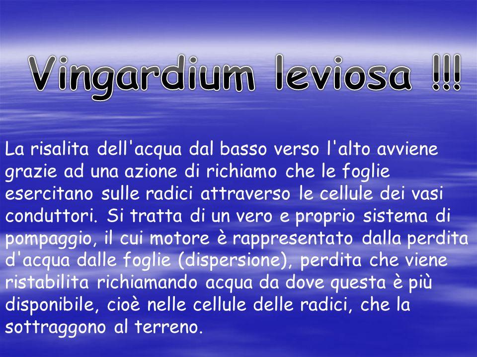 Vingardium leviosa !!! La risalita dell acqua dal basso verso l alto avviene. grazie ad una azione di richiamo che le foglie.