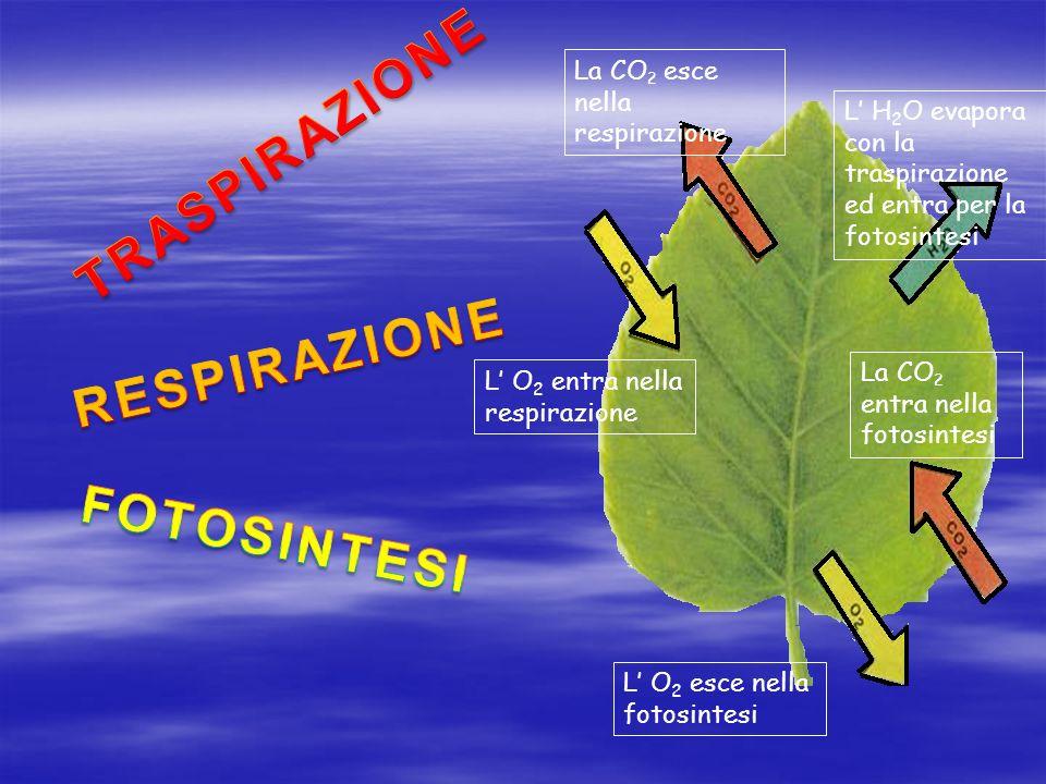 TRASPIRAZIONE FOTOSINTESI La CO2 esce nella respirazione