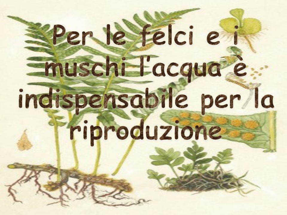 Per le felci e i muschi l'acqua è indispensabile per la riproduzione