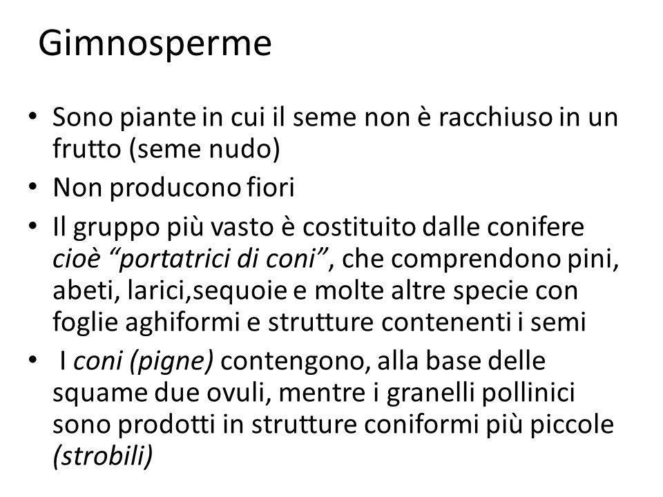 Gimnosperme Sono piante in cui il seme non è racchiuso in un frutto (seme nudo) Non producono fiori.