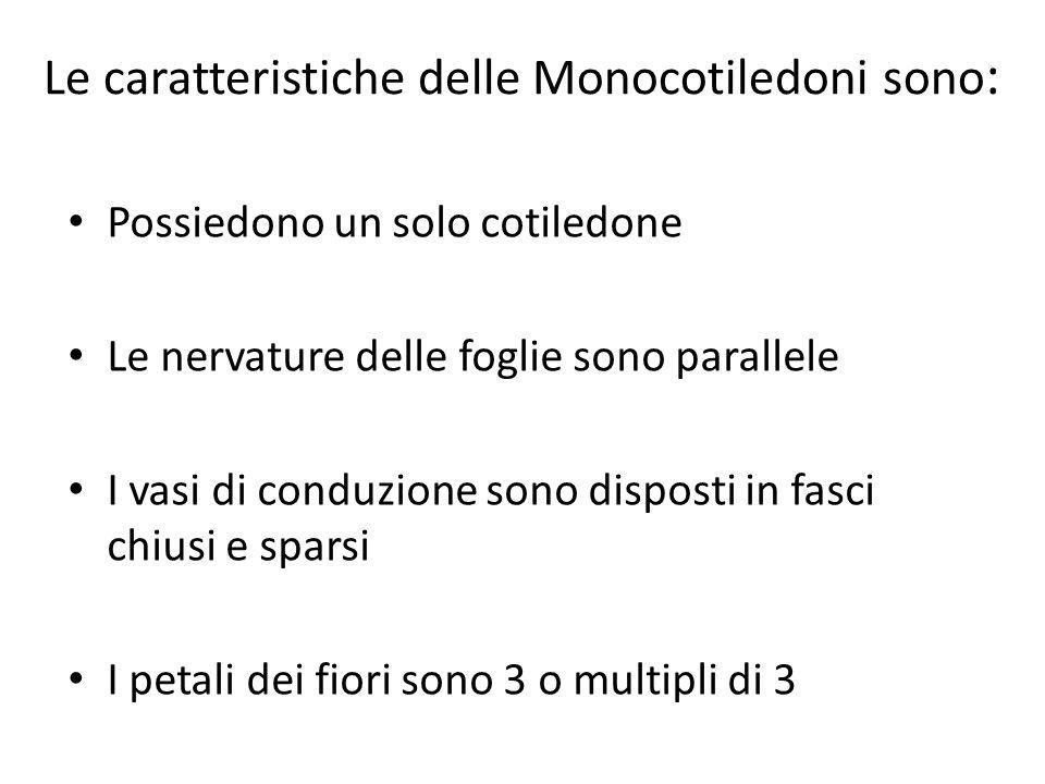 Le caratteristiche delle Monocotiledoni sono: