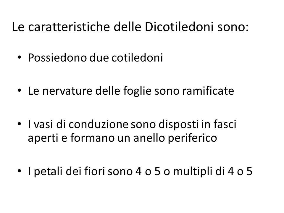 Le caratteristiche delle Dicotiledoni sono: