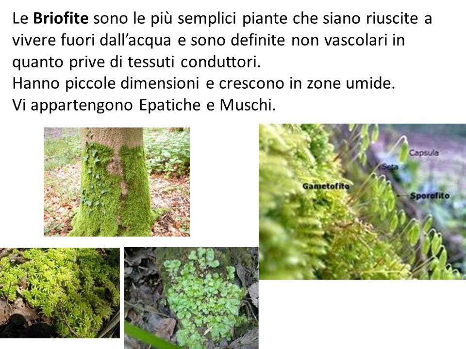 Le Briofite sono le più semplici piante che siano riuscite a vivere fuori dall'acqua e sono definite non vascolari in quanto prive di tessuti conduttori.