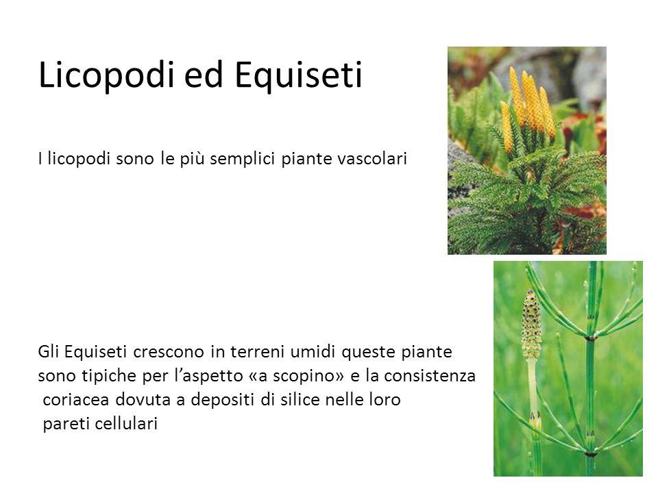 Licopodi ed Equiseti I licopodi sono le più semplici piante vascolari Gli Equiseti crescono in terreni umidi queste piante sono tipiche per l'aspetto «a scopino» e la consistenza coriacea dovuta a depositi di silice nelle loro pareti cellulari