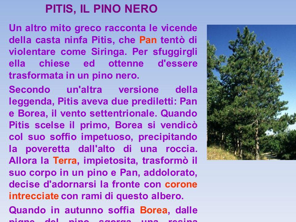 PITIS, IL PINO NERO
