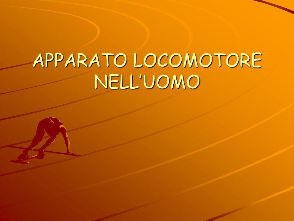 APPARATO LOCOMOTORE NELL'UOMO