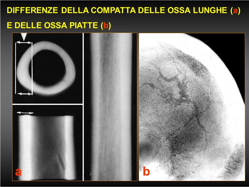 a b DIFFERENZE DELLA COMPATTA DELLE OSSA LUNGHE (a)