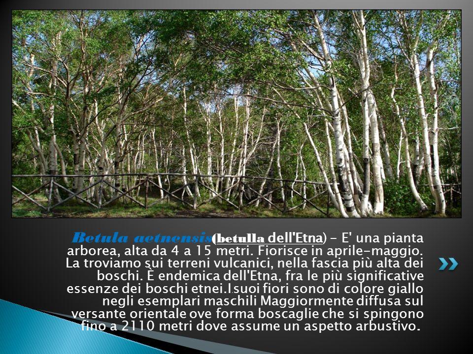 Betula aetnensis(betulla dell Etna) - E una pianta arborea, alta da 4 a 15 metri.
