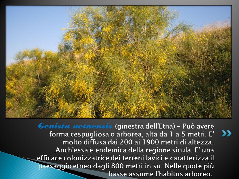 Genista aetnensis (ginestra dell Etna) - Può avere forma cespugliosa o arborea, alta da 1 a 5 metri.