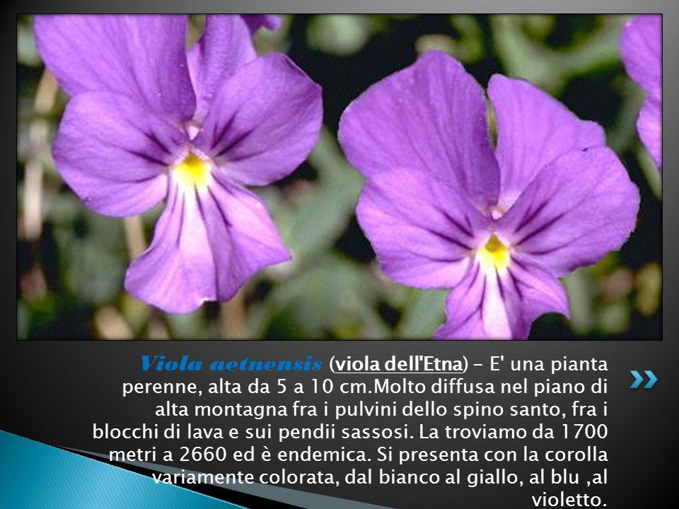 Viola aetnensis (viola dell Etna) - E una pianta perenne, alta da 5 a 10 cm.Molto diffusa nel piano di alta montagna fra i pulvini dello spino santo, fra i blocchi di lava e sui pendii sassosi.