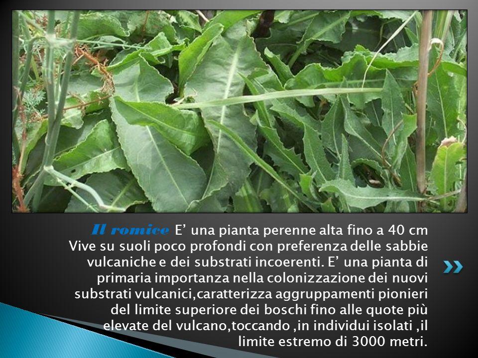Il romice E' una pianta perenne alta fino a 40 cm Vive su suoli poco profondi con preferenza delle sabbie vulcaniche e dei substrati incoerenti.