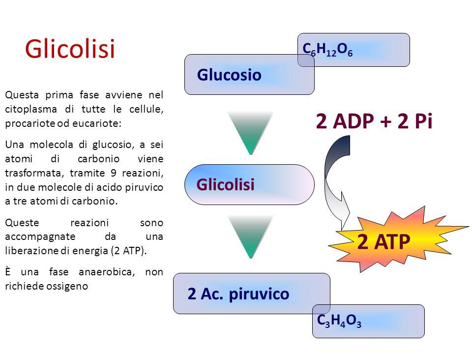 Glicolisi 2 ADP + 2 Pi 2 ATP Glucosio Glicolisi 2 Ac. piruvico C6H12O6