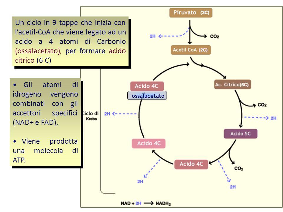 Viene prodotta una molecola di ATP.