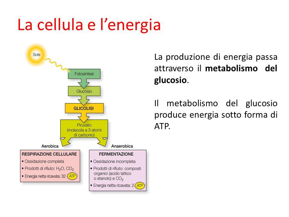 La cellula e l'energia La produzione di energia passa attraverso il metabolismo del glucosio.