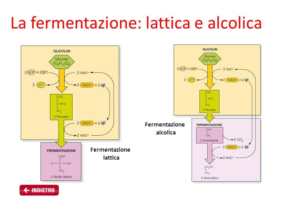 La fermentazione: lattica e alcolica