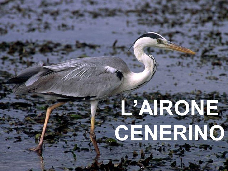 L'AIRONE CENERINO