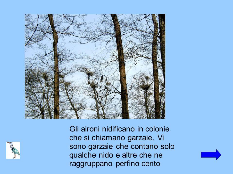 Gli aironi nidificano in colonie che si chiamano garzaie