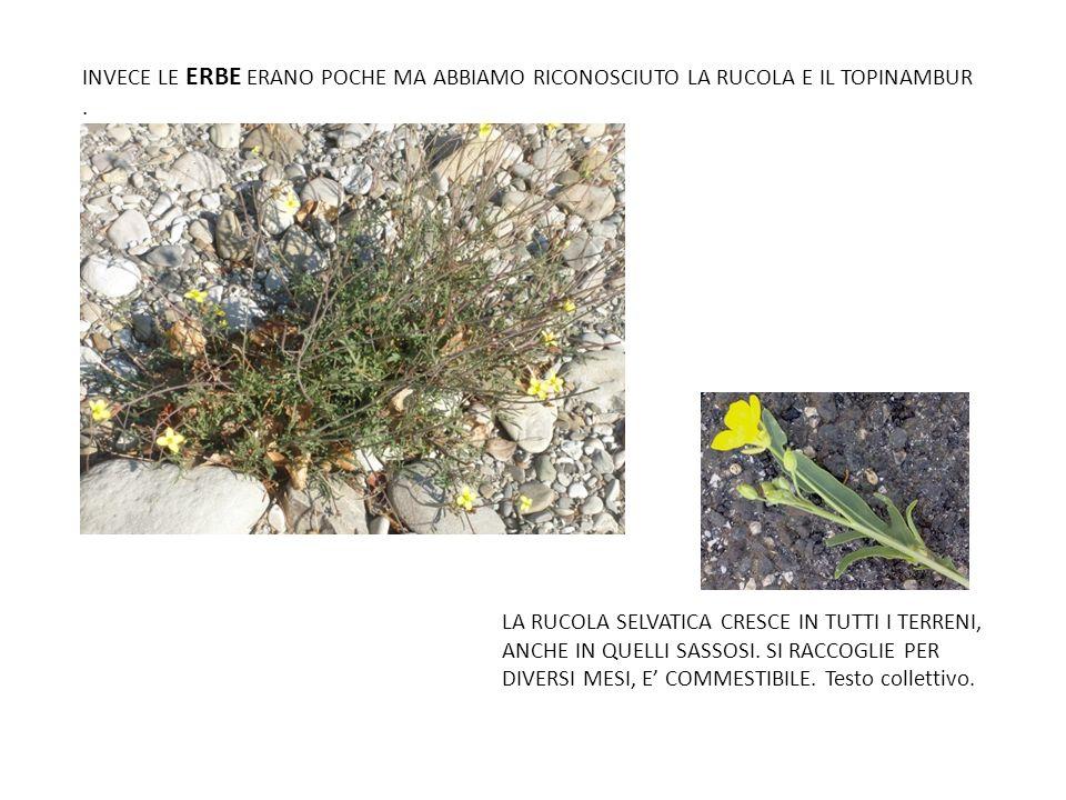 INVECE LE ERBE ERANO POCHE MA ABBIAMO RICONOSCIUTO LA RUCOLA E IL TOPINAMBUR .