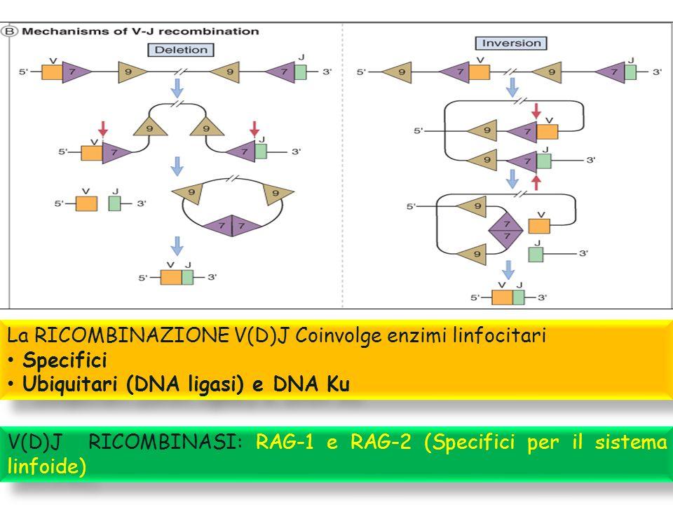 La RICOMBINAZIONE V(D)J Coinvolge enzimi linfocitari Specifici