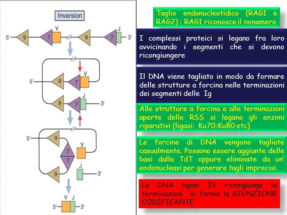 Taglio endonucleotidico (RAG1 e RAG2) : RAG1 riconosce il nonamero