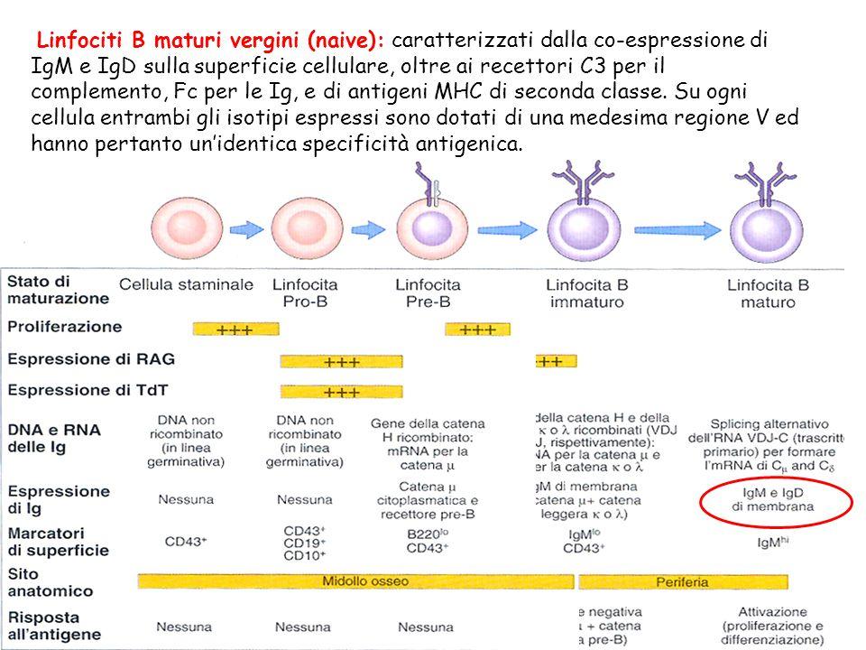 Linfociti B maturi vergini (naive): caratterizzati dalla co-espressione di IgM e IgD sulla superficie cellulare, oltre ai recettori C3 per il complemento, Fc per le Ig, e di antigeni MHC di seconda classe.