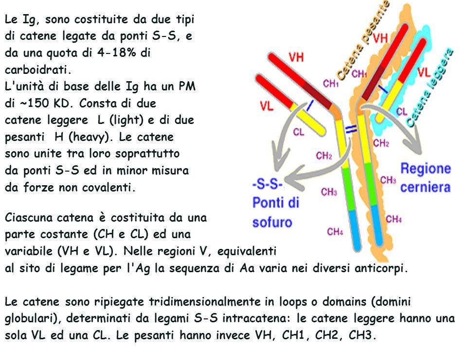 Le Ig, sono costituite da due tipi di catene legate da ponti S-S, e da una quota di 4-18% di carboidrati.