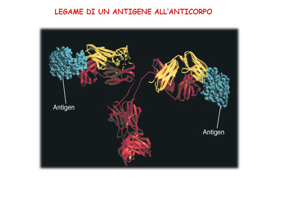 LEGAME DI UN ANTIGENE ALL'ANTICORPO
