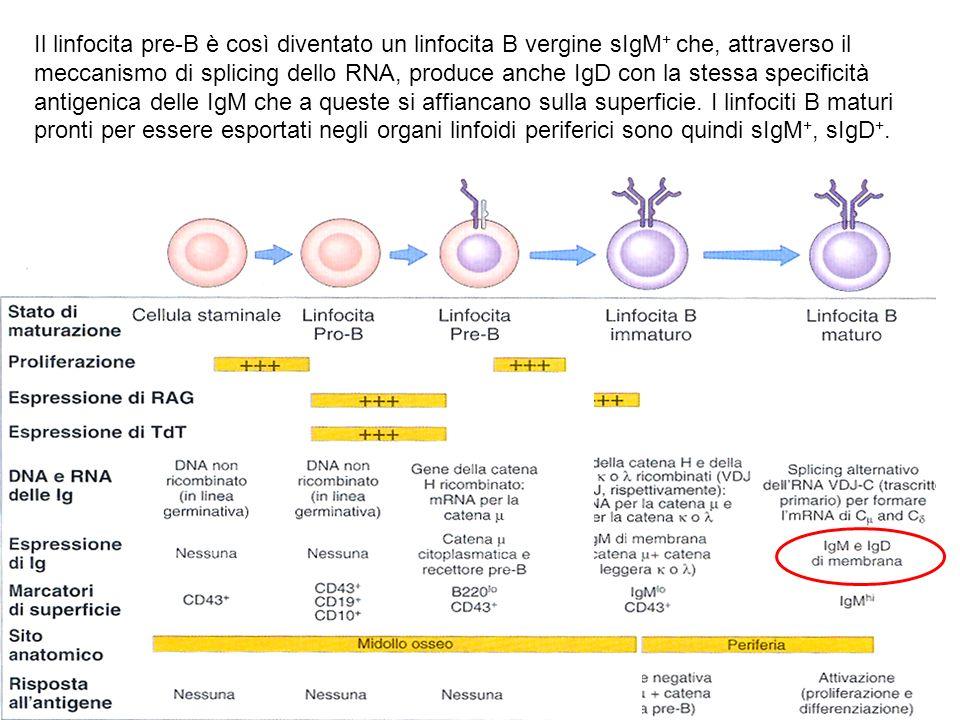 Il linfocita pre-B è così diventato un linfocita B vergine sIgM+ che, attraverso il meccanismo di splicing dello RNA, produce anche IgD con la stessa specificità antigenica delle IgM che a queste si affiancano sulla superficie.